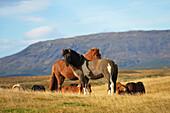 'Icelandic Horses; Laugarvatn, Arnessysla, Iceland'