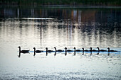 'Canada Geese (Branta Canadensis) Swimming In Straight Line Behind Mother Goose; 100 Mile House, British Columbia, Canada'