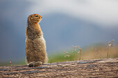 'An Arctic Ground Squirrel (Urocitellus Parryii) Sits On A Log In Denali National Park And Preserve; Alaska, United States Of America'