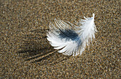'A Molted Gull Feather Lies On The Beach; Cannon Beach, Oregon, United States Of America'