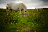'Two white wild horses eating grass in a field in Newborough Warren on the island of Anglesey; Wales'