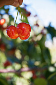 'Ranier cherries are ripe and delicious in the Okanagan; British Columbia, Canada'