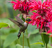 'A hummingbird hovers by a bright pink blossoming flower; Ontario, Canada'