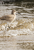 'Willet (Tringa semipalmata) foraging for food along the water's edge; San Francisco, California, United States of America'