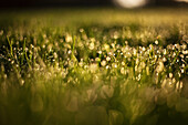 'Early light hits wet blades of grass as they reflect little balls of light; Whitnall Park, Wisconsin, United States of America'