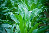 'Corn leaves; Preston, Maryland, United States of America'