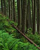 'Western Hemlock trees grow in Oswald West State Park; Manzanita, Oregon, United States of America'
