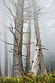 'Leafless trees in the fog; Cannon Beach, Oregon, United States of America'
