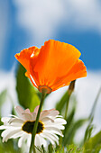 'A poppy and daisies bloom in the garden; Astoria, Oregon, United States of America'