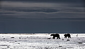 'Adult polar bears (ursus maritimus) walk on the tidal flats of southern Hudson Bay while a storm approaches; Manitoba, Canada'