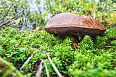 'Large mushroom growing in the tundra along the Hudson Bay shoreline; Manitoba, Canada'