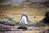 'Magellanic Penguins (Spheniscus magellanicus); Punta Arenas, Magallanes, Chile'