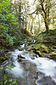'Water flowing and cascading over rocks in a stream through a mossy forest; Oregon, United States of America'
