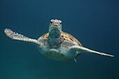 'Green turtle swimming underwater; Barbados'