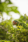 'Rose throated parrot; Grand Cayman, Cayman Islands'