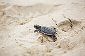 'A young turtle crawling over the white sand; Barbados'