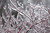 'Ice coated fallen tree damaged from an ice storm; Brampton, Ontario, Canada'