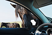 'A horse puts it's head into an open car window; Bonavista, Newfoundland and Labrador, Canada'