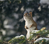 'A red squirrel (Sciurus vulgaris) sits alert in a snow covered tree; Ontario, Canada'