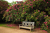 Bench infront of a rhododendron, Sheffield Park Garden, East Sussex, Great Britain
