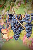 Weinreben im Weinanbaugebiet bei Kirchheim Teck, Schwäbische Alb, Baden-Württemberg, Deutschland