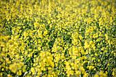 Yellow blooming rape field, Swabian Alp, Baden-Wuerttemberg, Germany
