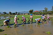 Women working in the rice paddy fields near Kyaing Tong, Kentung, Shan State, Myanmar, Burma