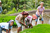 German women with Indonesian women in rice field, paddyfield, growing rice, seedlings, planting, rice cultivation, contact with local people, intercultural, family travel in Asia, parental leave, German, European, MR, Tetebatu, Lombok, Indonesia