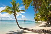 Lone palm tree on a beach, Leleuvia island, Lomaiviti Islands, Fiji, South Pacific