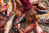Hand reaching for colourful fish on sale at a fish market, Makemo, Tuamotu Islands, French Polynesia, South Pacific
