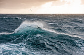 An albatross soaring above high waves in extremely rough seas in the Southern Ocean, near Falkland Islands, British Overseas Territory, South America