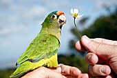 Canary bird sitting on a hand with white flower in other hand in Cerro Verde National Park, near Santa Ana, El Salvador, Central America
