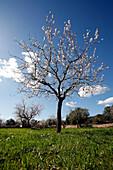 Blossoming almond tree in a meadow, near Randa, Mallorca, Balearic Islands, Spain, Europe