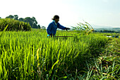 Farmer working in a rice field, Kyoto, Kansai Region, Japan