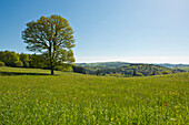 A single tree on a Spring meadow with green grassland and Kellerwald-Edersee National Park in the distance, Frankenau, Hesse, Germany, Europe
