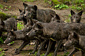 A pack of black wolves gathering for feeding in Wolfpark Kasselburg wild animal park, Pelm, Rhineland-Palatinate, Germany, Europe