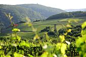 Rotweinwanderweg über Marienthal im Ahrtal, Eifel, Rheinland-Pfalz, Deutschland