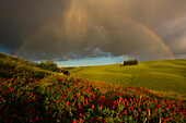 Typical tuscany's landscape, with cypresses and hills, under a stormy sky with a rainbow, Tuscany
