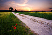 Poppies and a path between the fields, in a springtime sunset, Umbria