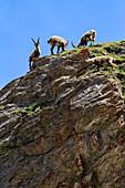 Ibex spotted in the HoheTauern National Park, Austria, Grossglockner