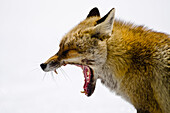 Fox yawning, Orco valley, Gran Paradiso National Park, Piedmont