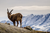A young ibex in his habitat, Orco Valley, Gran Paradiso National Park, Piedmont