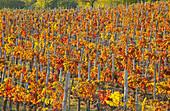 Rows of vines in autumn , Valtellina
