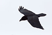 Raven in fly