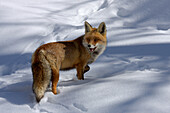 Red fox in the park of Gran Paradiso on a cold winter day