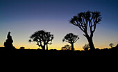 The silhouette of the Faretra trees at the sunset in the Kookerboom Forest , Namibia, Africa.