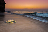 green turtle returning to sea after laying eggs in Ras Al Jinz Turle Reserve.