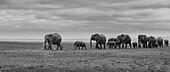 A family of elephants walking in the park Amboseli Kenya