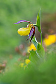 The Cypripedium calceolus, also called lady's slipper, is one of the most beautiful orchids