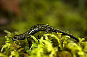 BRANSCOMB, CALIFORNIA - FEBRUARY 28, 2009: Detail of a juvenile Giant Pacific Salamander in Angelo Coast Range Reserve. This salamander only measured an inch from head to the tip of the tail. The Angelo Reserve is one of the largest intact old-growth doug